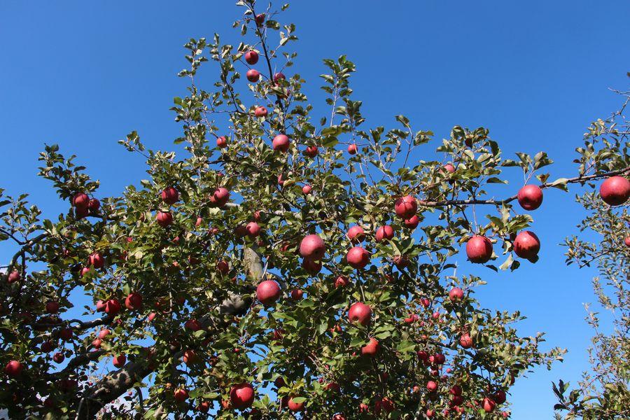 リンゴ狩り その1
