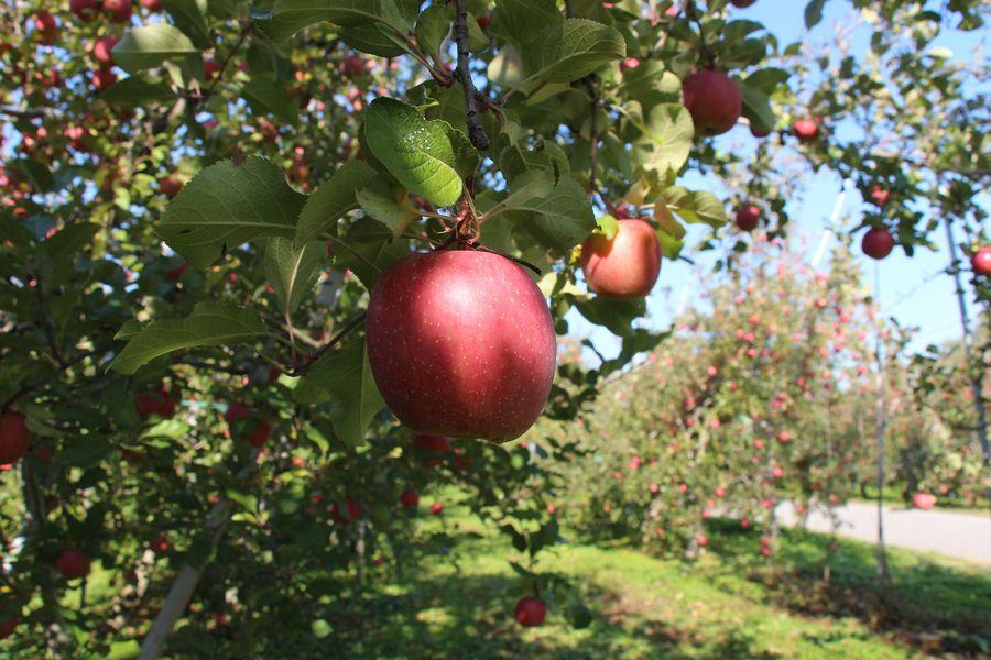 リンゴ狩り その2