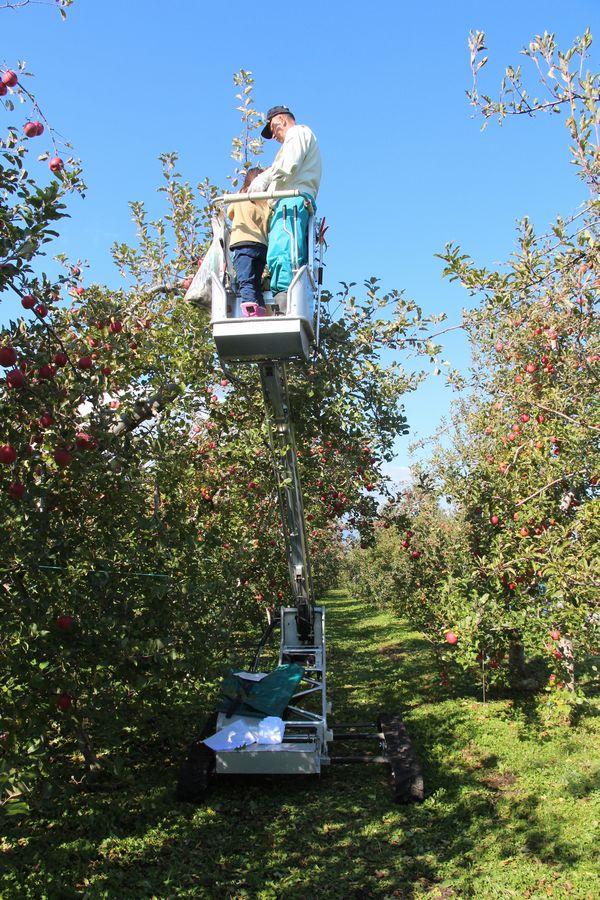 リンゴ狩り その6