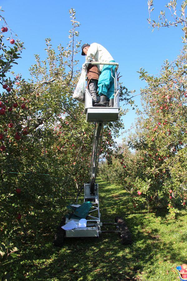 リンゴ狩り その5