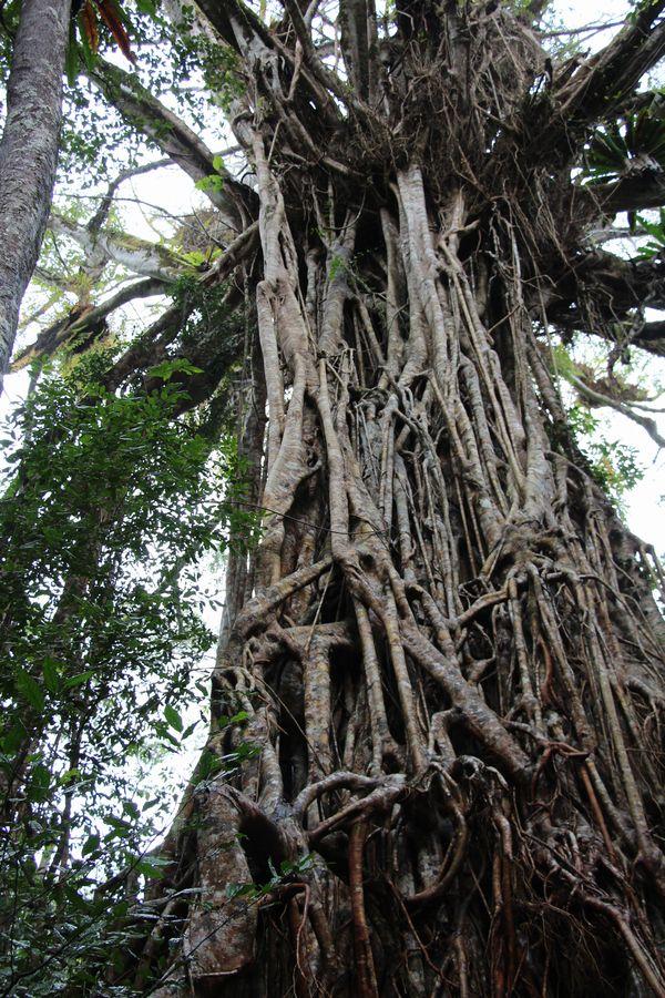 カテドラルフィグツリー その1