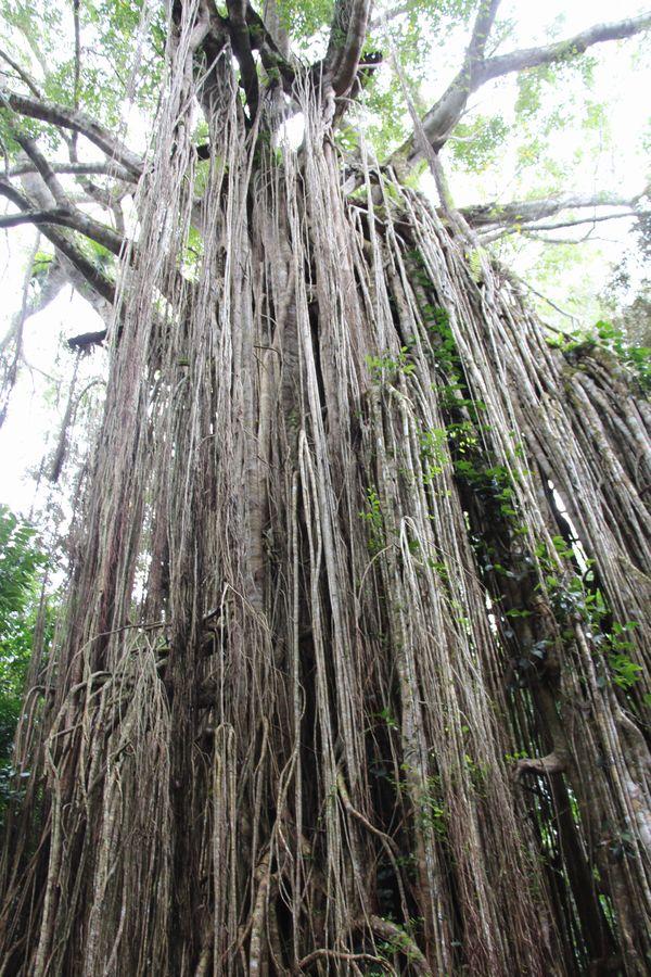 カーテンフィグツリー その1