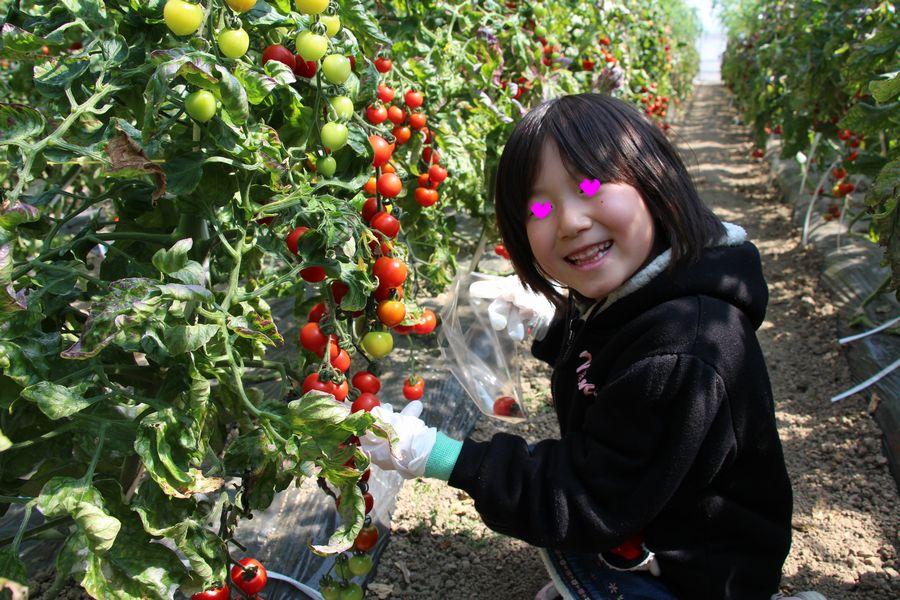 フルーツトマト狩り その2