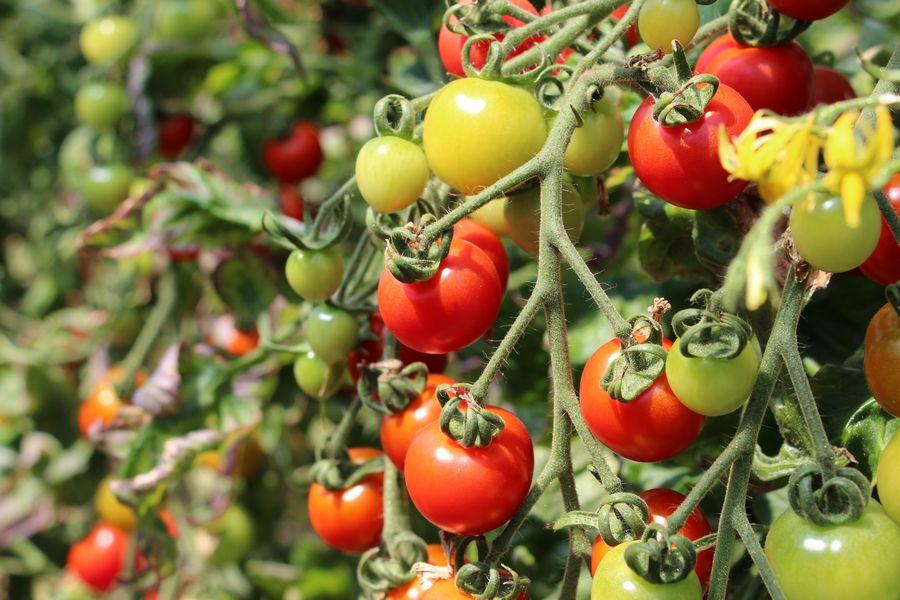 フルーツトマト狩り その3