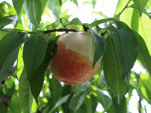 桃狩り その2