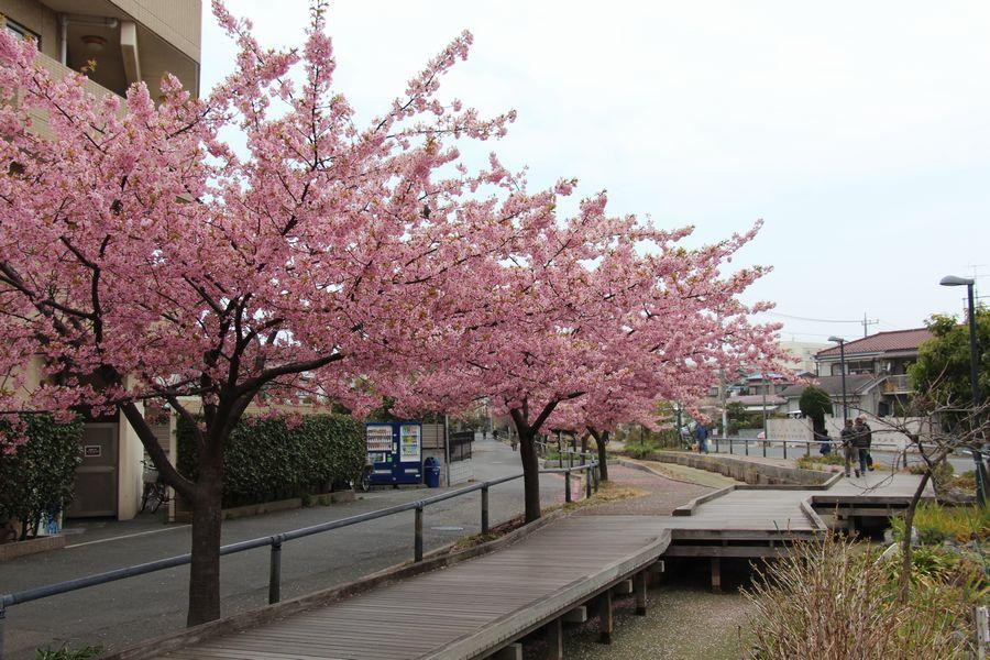 河津桜 その1