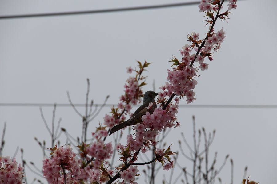 河津桜 その2