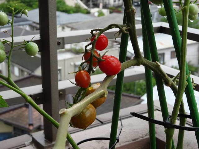 ミニトマト その2