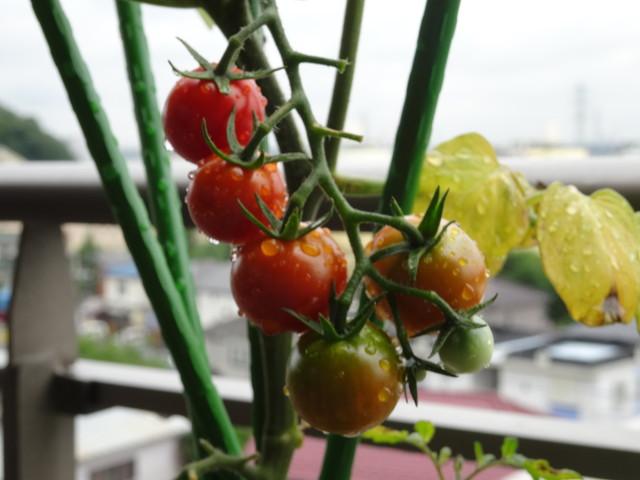 ミニトマト その1
