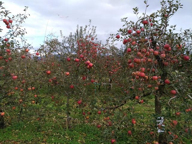 りんご狩り その1