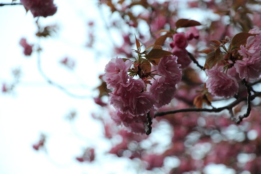 八重桜 その3
