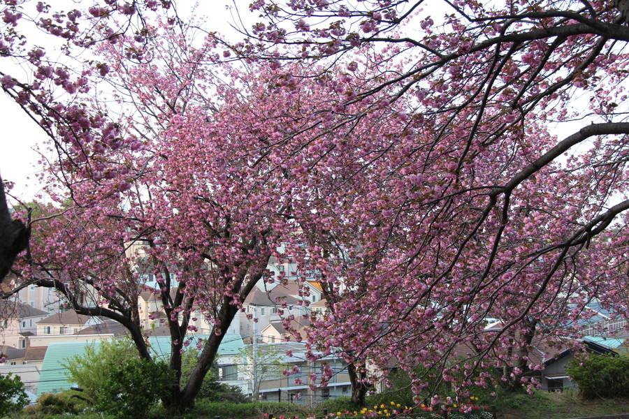 八重桜 その2